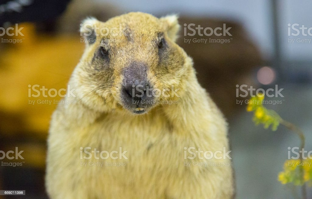 A gray marmot in the room stock photo