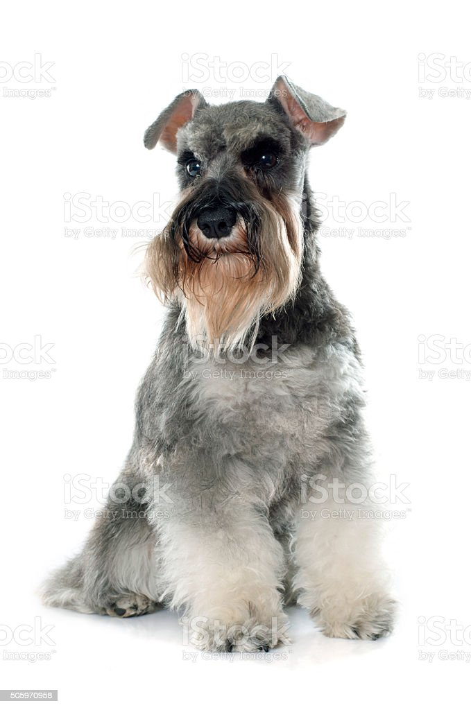 gray miniature schnauzer stock photo