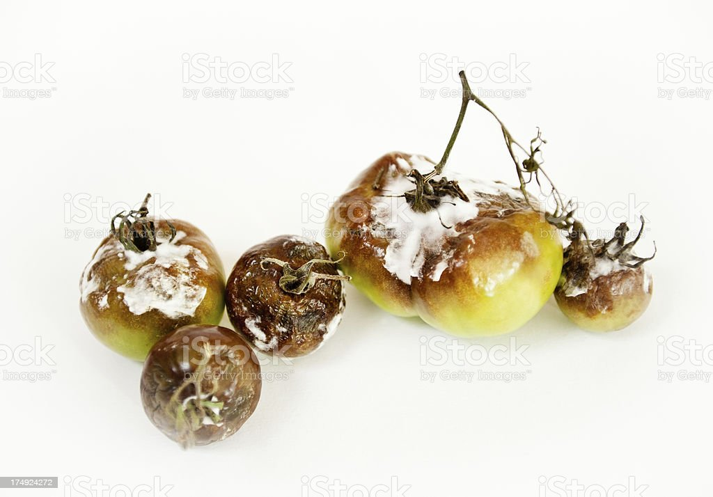 Gray Mold disease - Botrytis cinerea stock photo