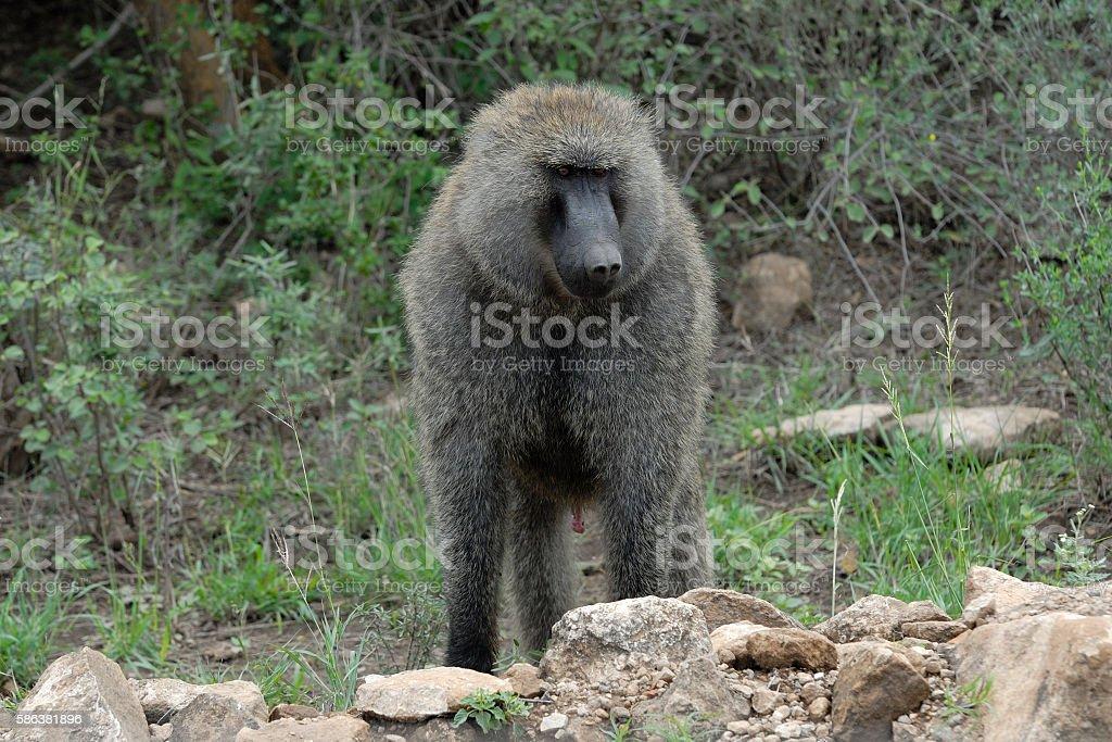 Gray Monkey stock photo