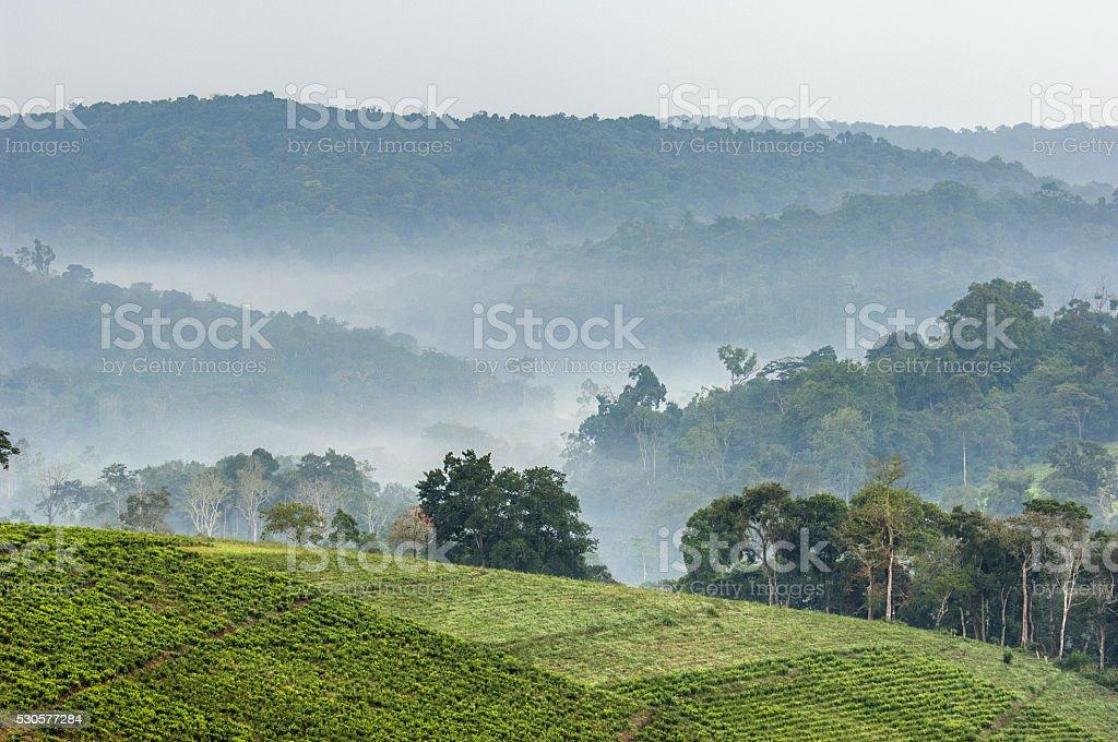 Gray morning fog over tea plantations Bwindi. stock photo