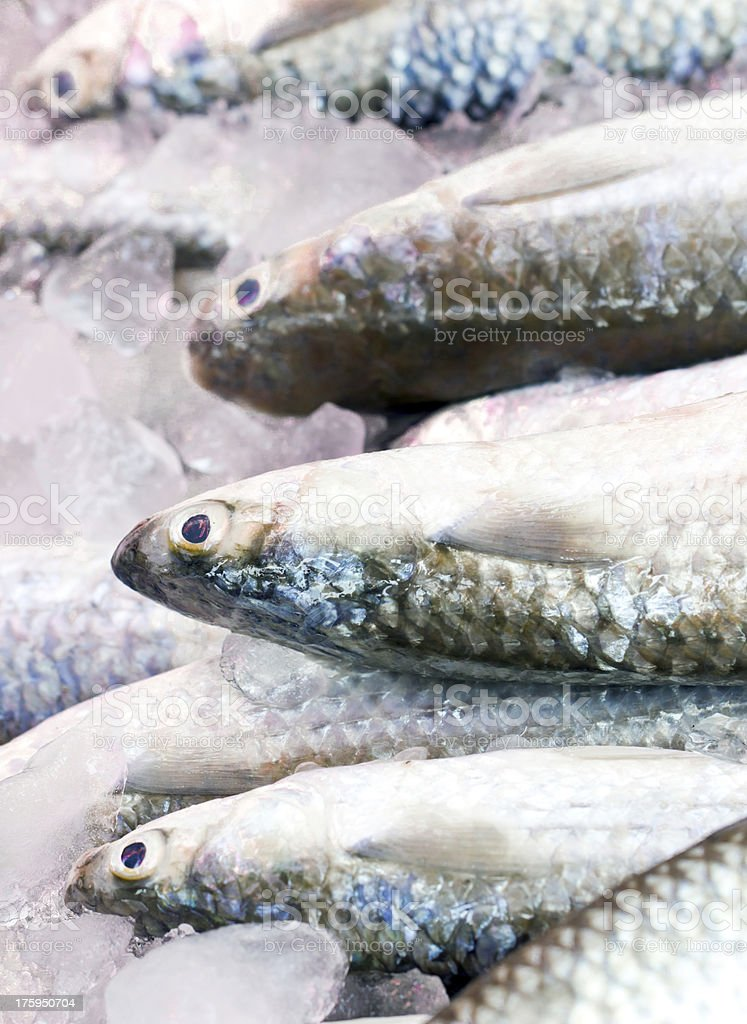 Gray Mullet fishes. stock photo