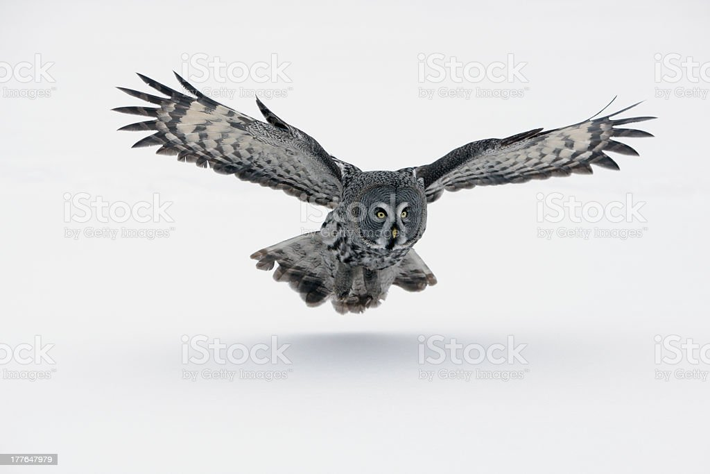 A gray owl with wings spread out stock photo