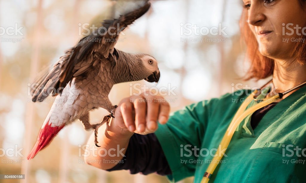 Gray parrot landing on a young veterinarian's arm. stock photo