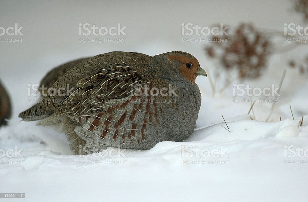 Gray Partridge in the snow royalty-free stock photo