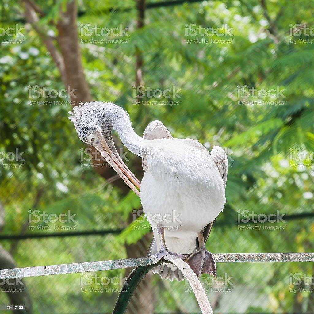 Gray pelican stock photo