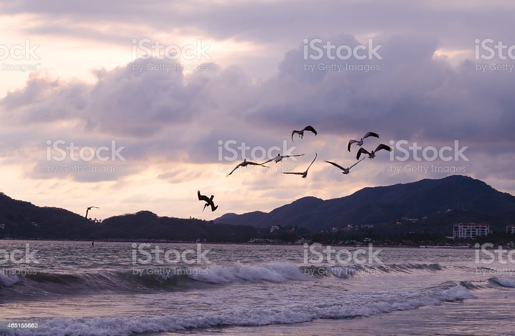 Gray pelicans at dusk on the Pacific shoreline stock photo