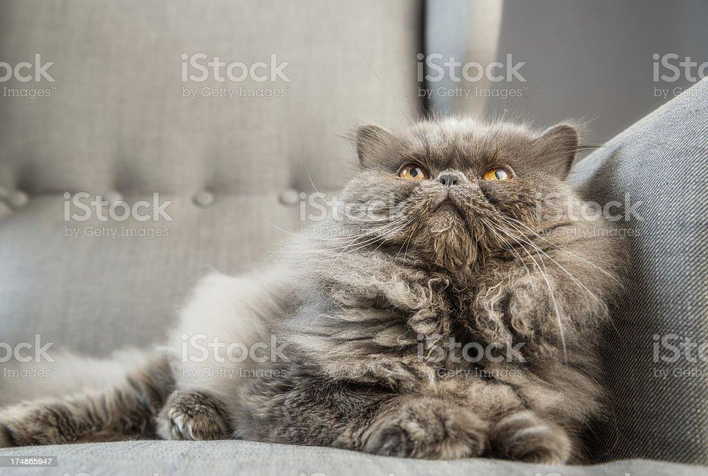 Gray persian cat on armchair stock photo