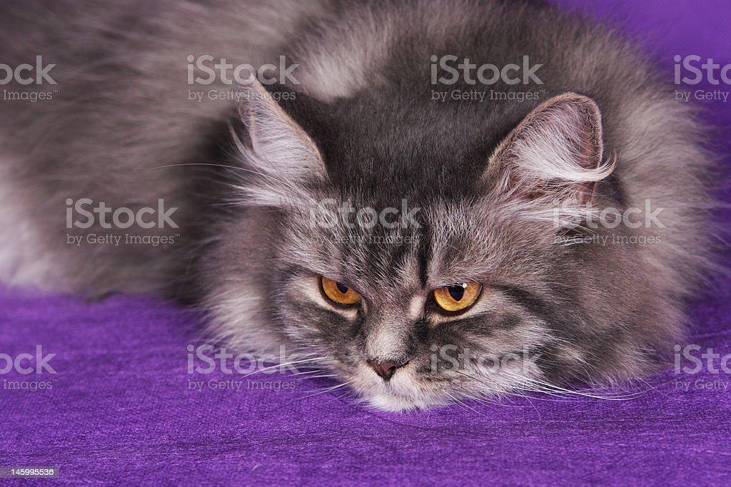 Gray Persian Cat stock photo