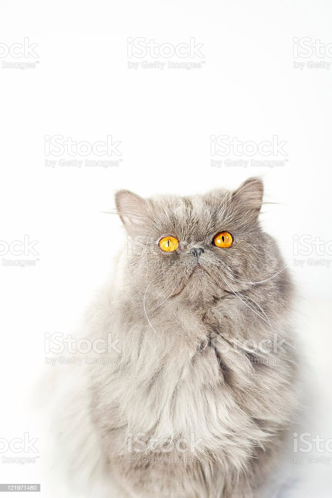 Gray Persian Cat with Orange Eyes, Isolated on White royalty-free stock photo