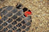 Gray pheasant behind bars