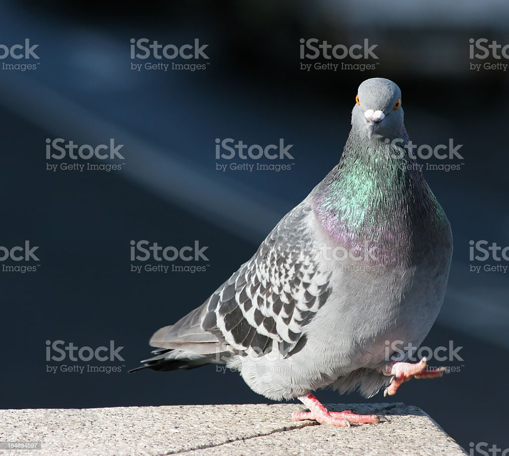 A gray pigeon standing on the edge stock photo