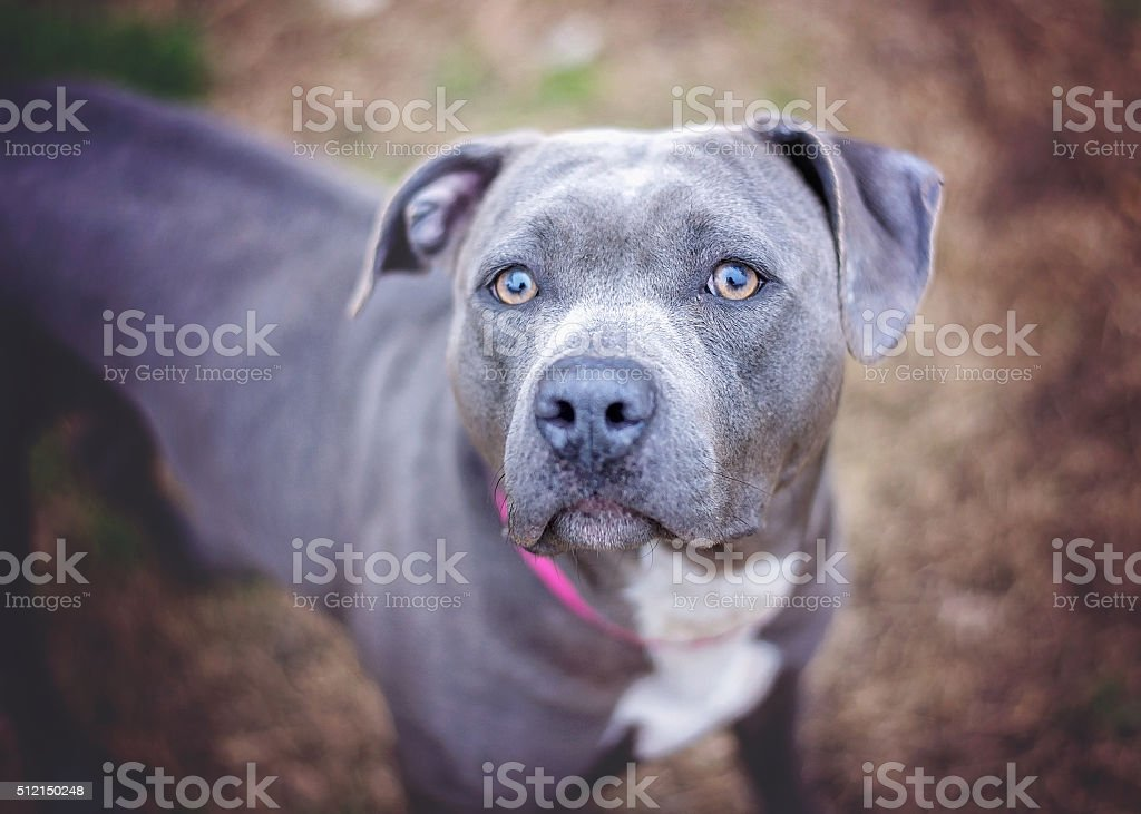 Gray Pit Bull in Shelter stock photo