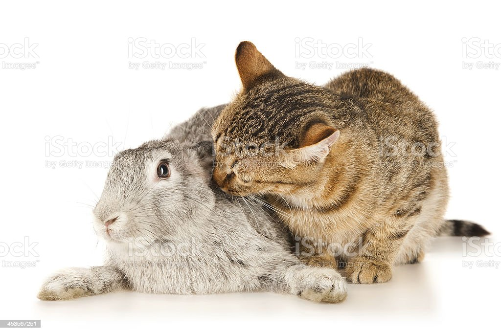 Gray rabbit and brown cat royalty-free stock photo