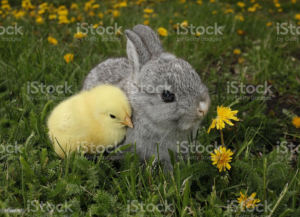 Gray rabbit bunny baby and yellow chick stock photo