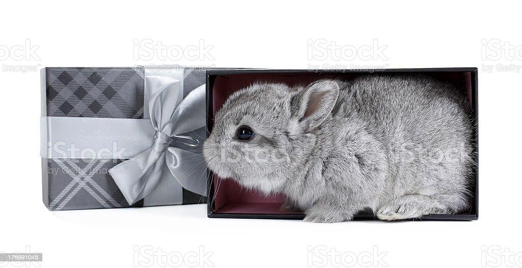 Gray rabbit bunny baby in lovely gift box royalty-free stock photo