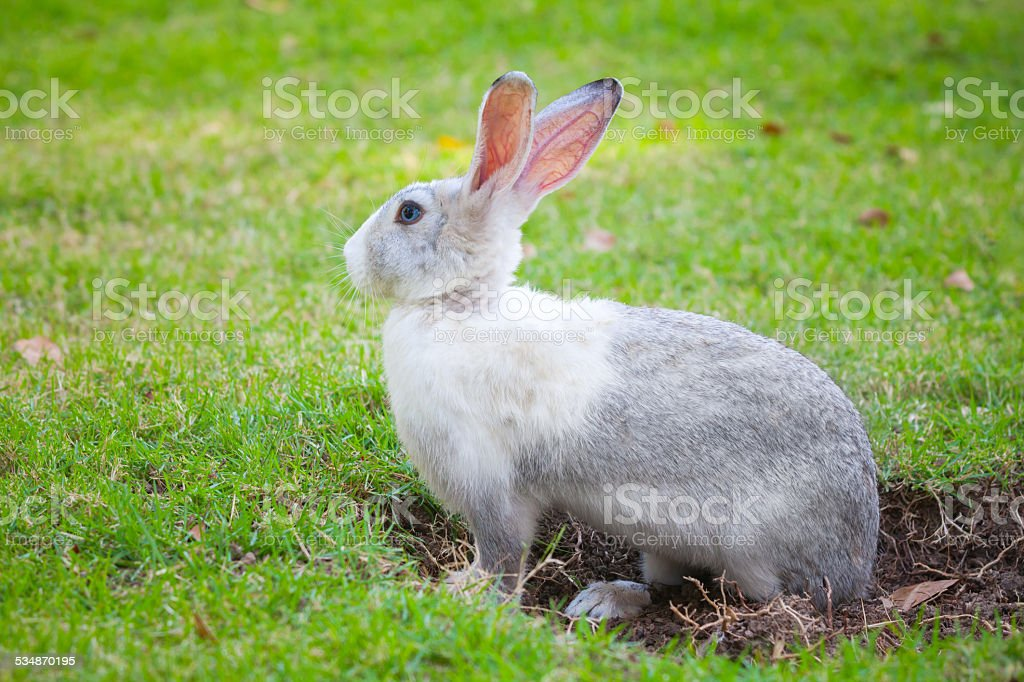 Gray rabbit digs a hole on green grass stock photo