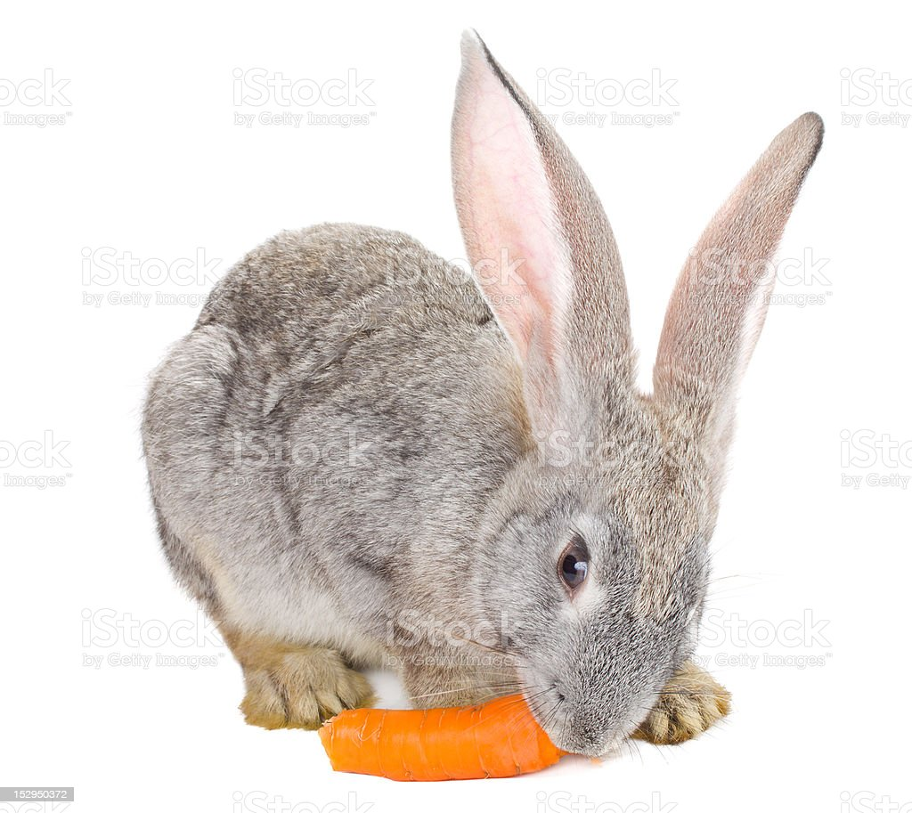 gray rabbit eating carrot royalty-free stock photo