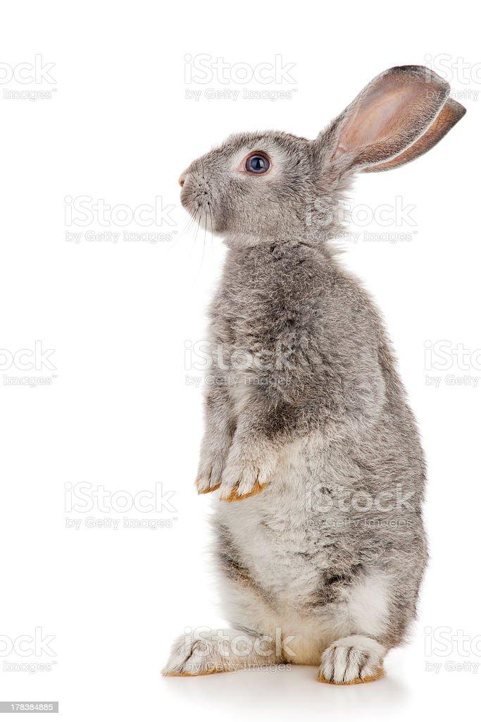 Gray rabbit stock photo