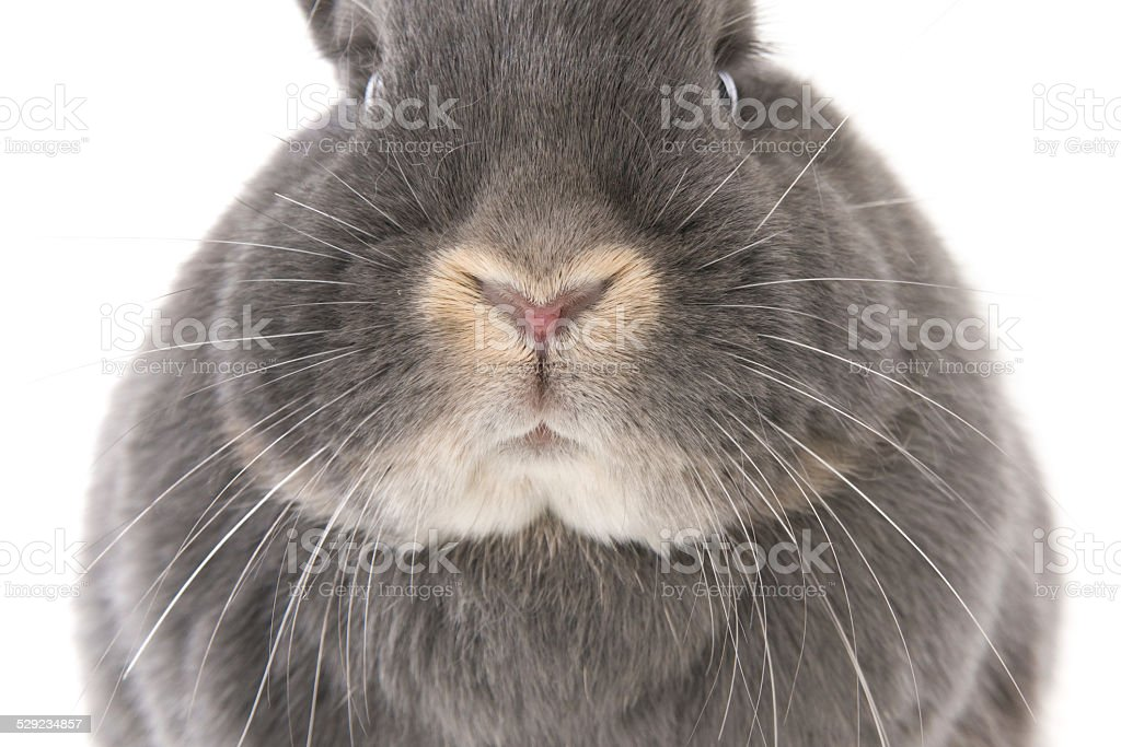 Gray rabbit's nose, cheeks and eyes (closeup) stock photo