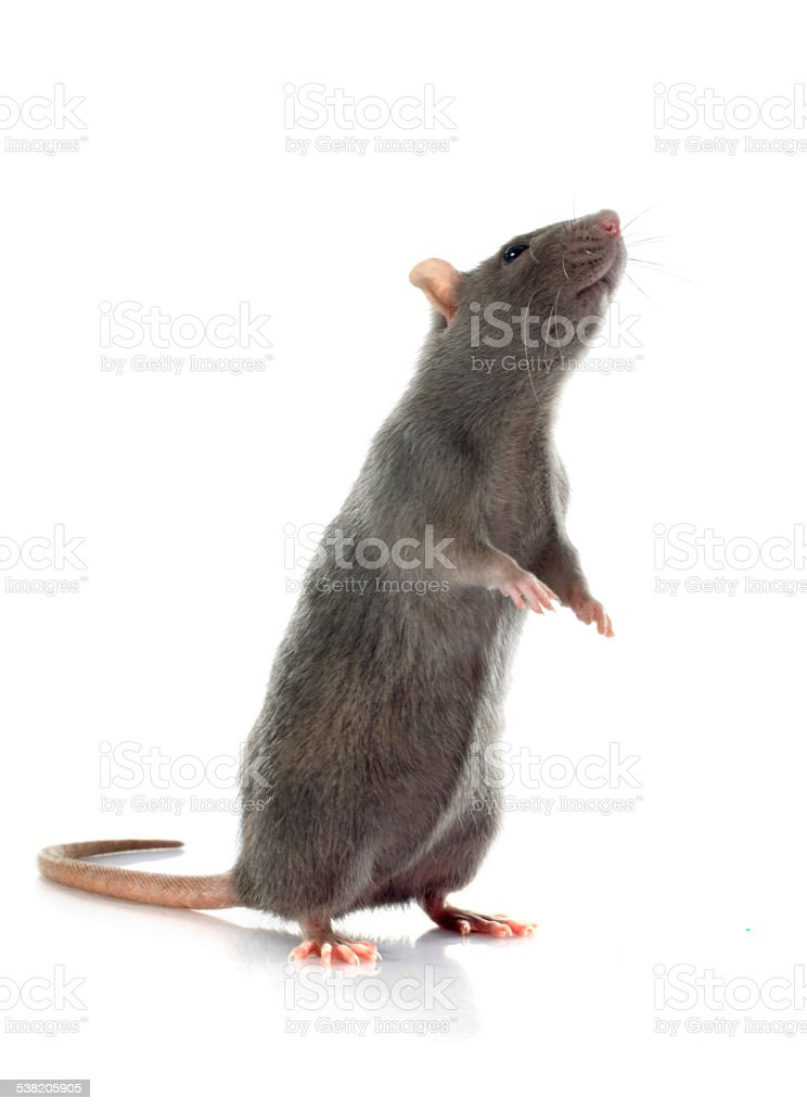 gray rat stock photo