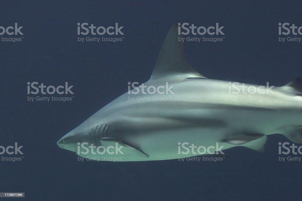 Gray Reef Shark royalty-free stock photo