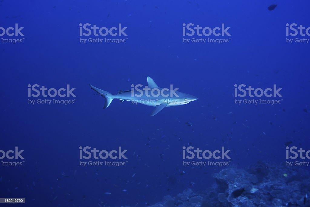 Gray Reef Shark stock photo