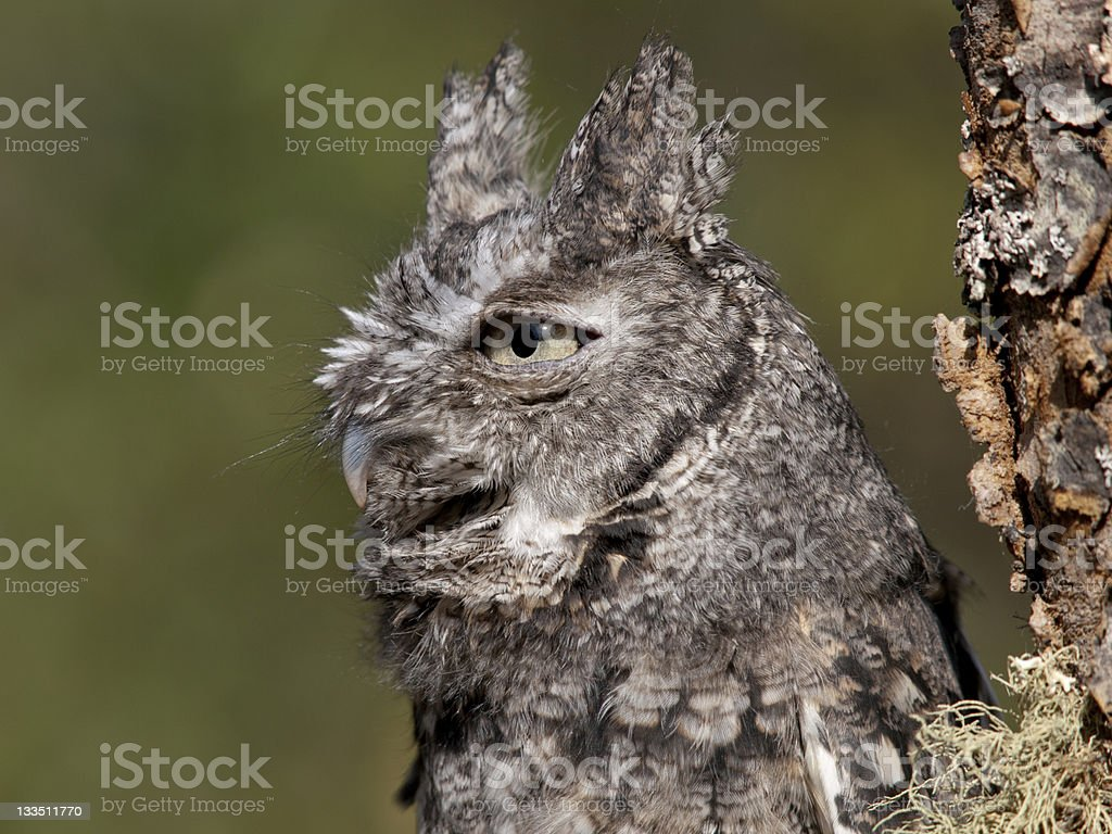 Gray Screech Owl stock photo
