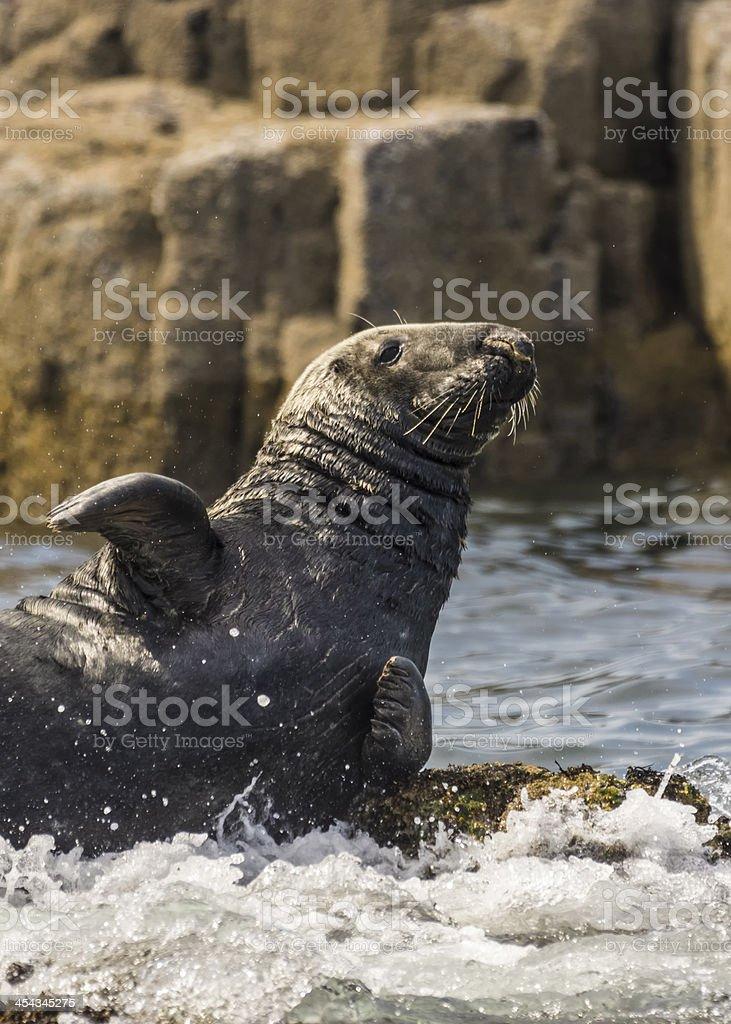 Gray Seal / Halichoerus grypus stock photo