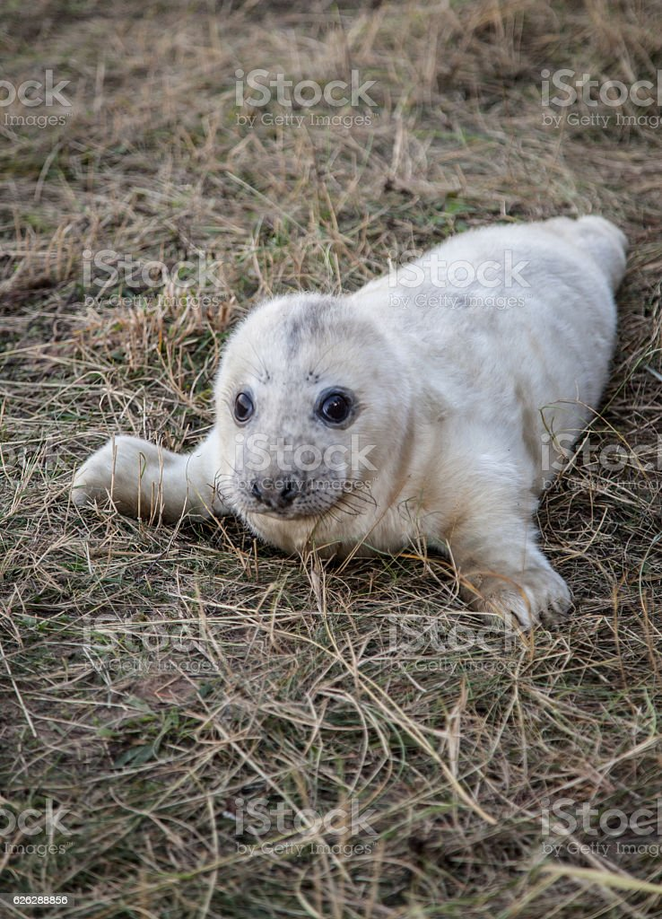 Gray seal pup stock photo