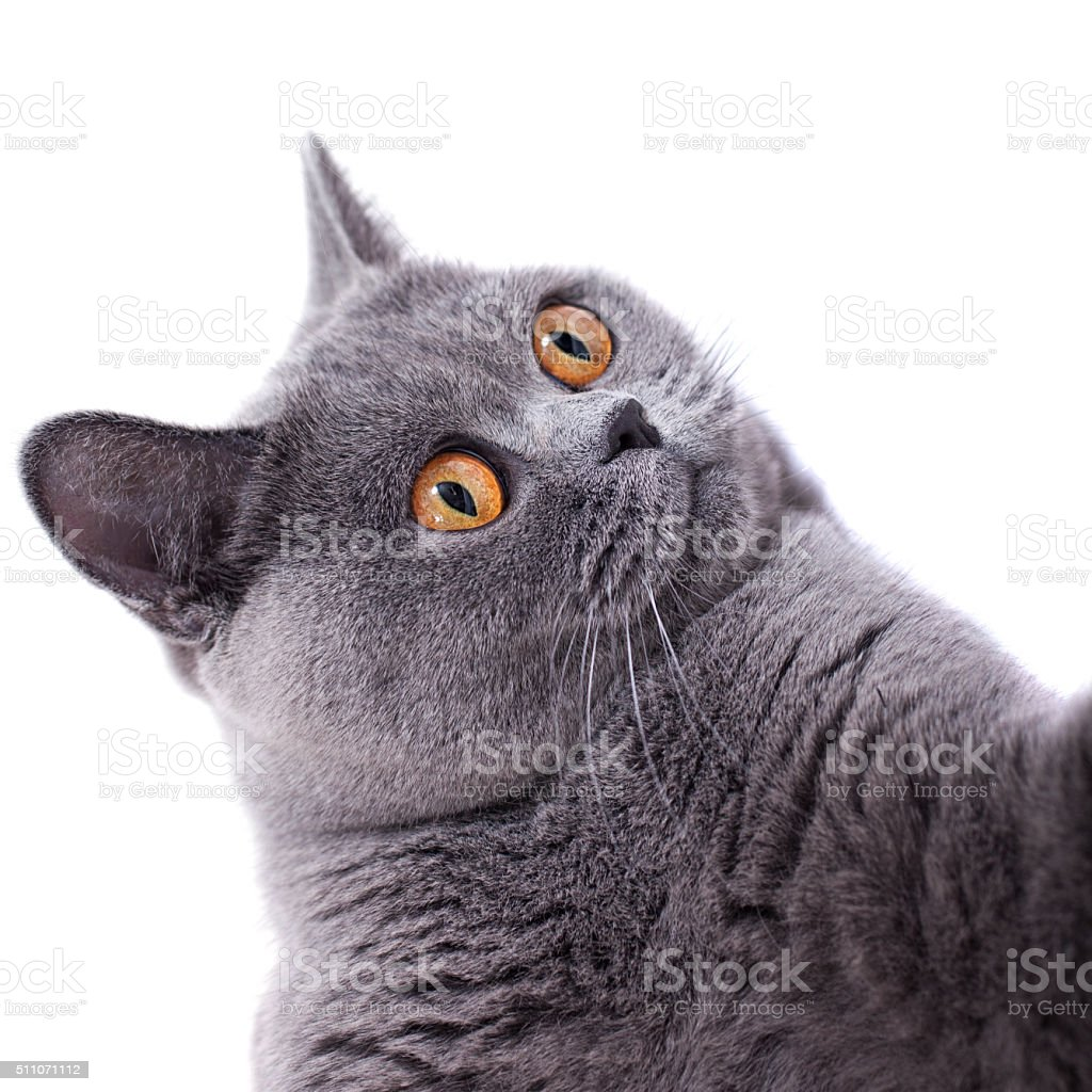 Gray shorthair British cat stock photo