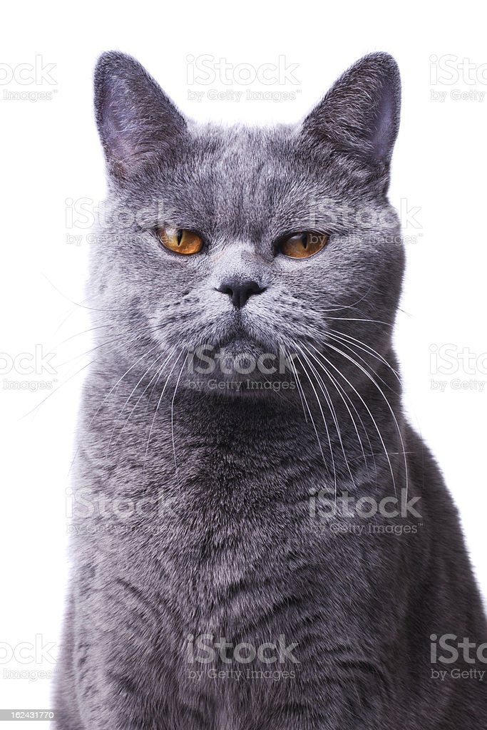 gray shorthair British cat with bright yellow eyes stock photo