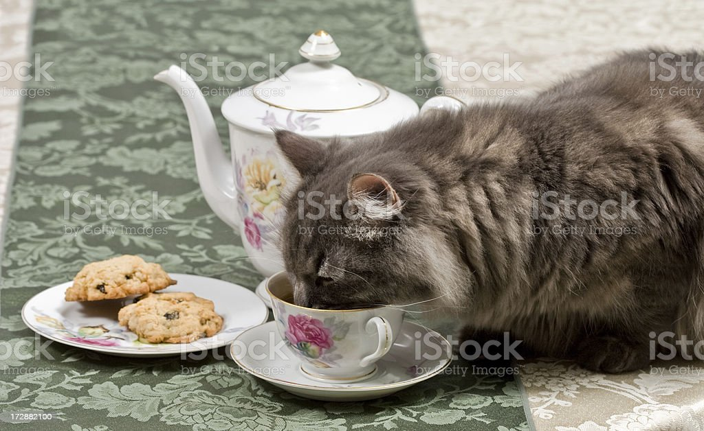 Gray Siberian cat drinking tea from a teacup royalty-free stock photo
