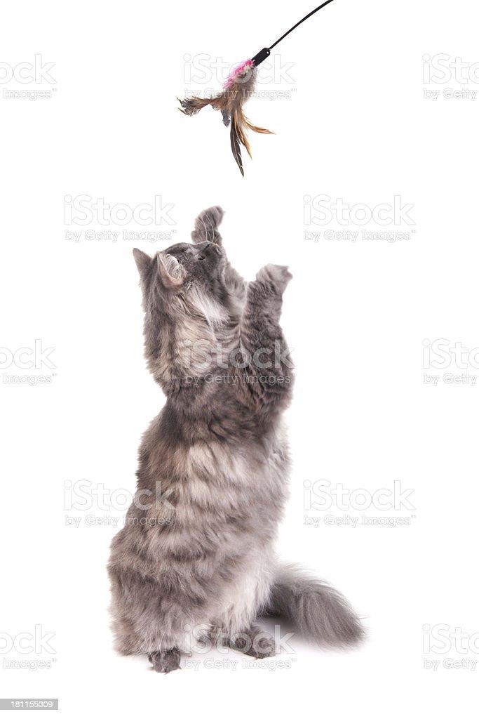 Gray Siberian cat standing royalty-free stock photo