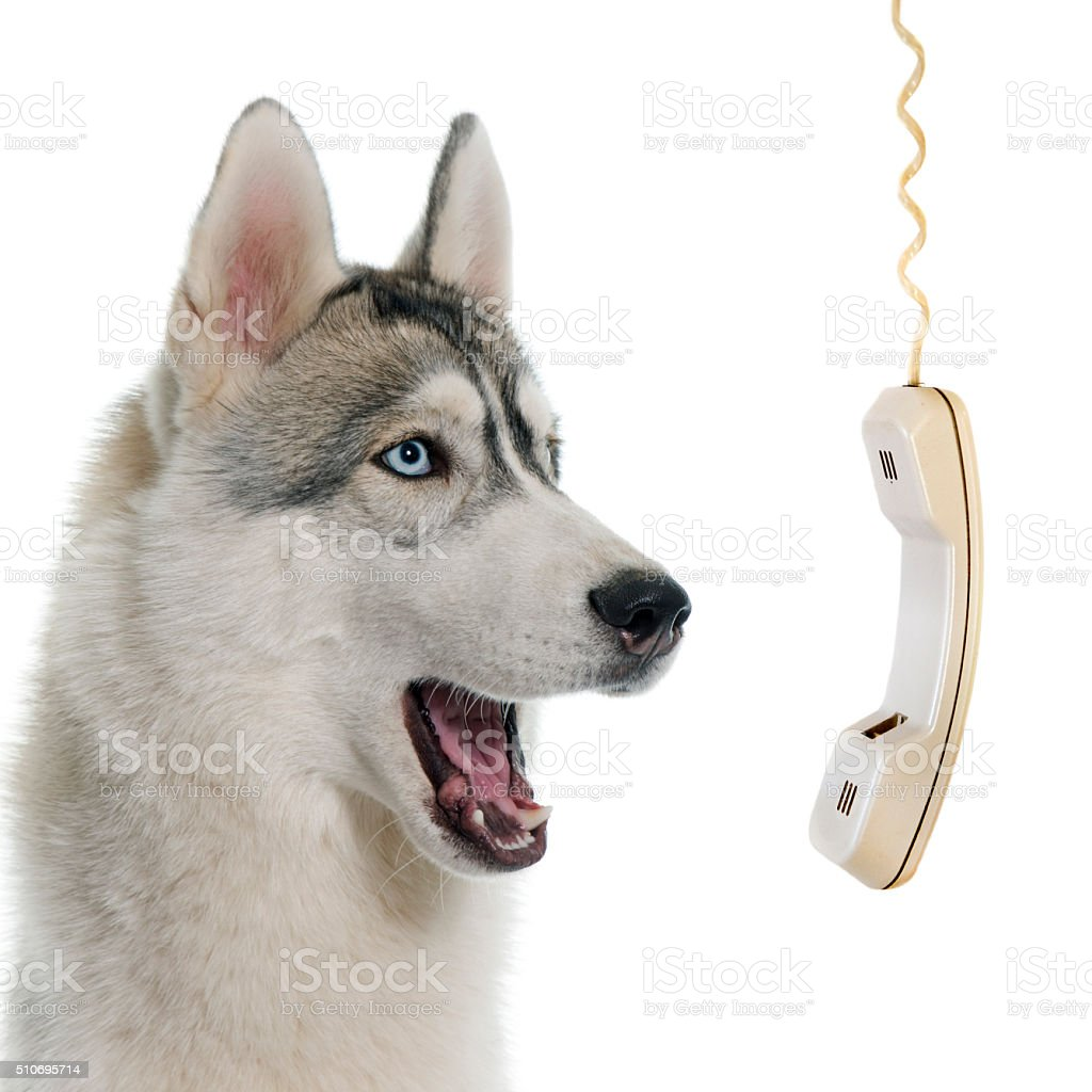 gray siberian husky calling stock photo