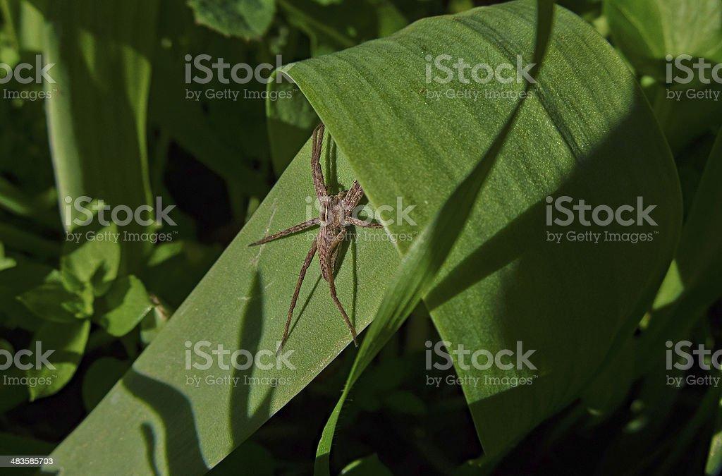 gray spider royalty-free stock photo