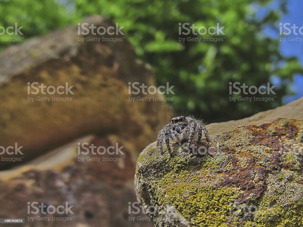 gray spider royalty-free stock photo