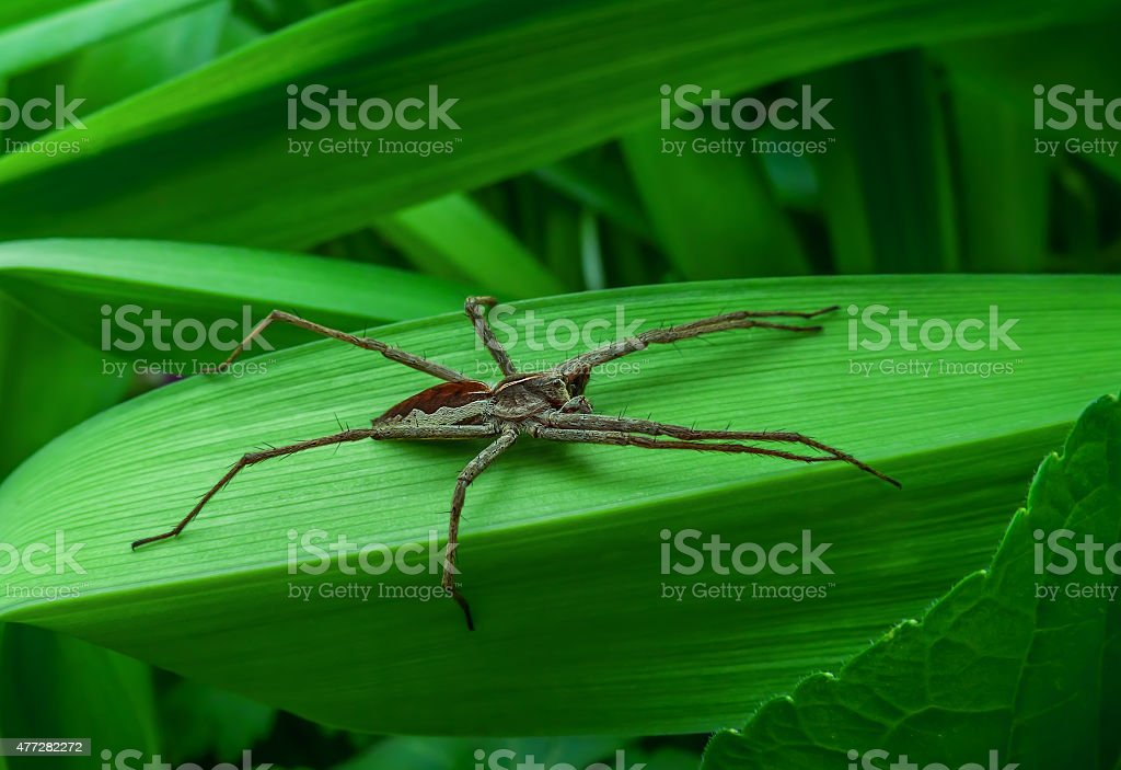 gray spider with long legs royalty-free stock photo