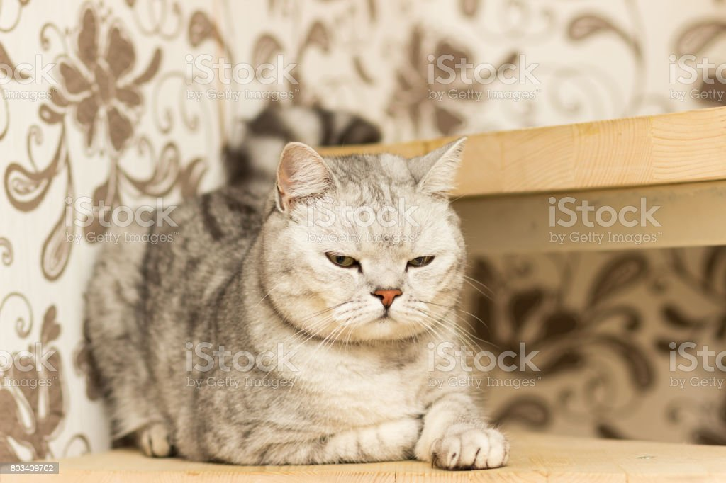 Gray spotted cat with yellow eyes Scottish Straight lies on wooden steps stock photo