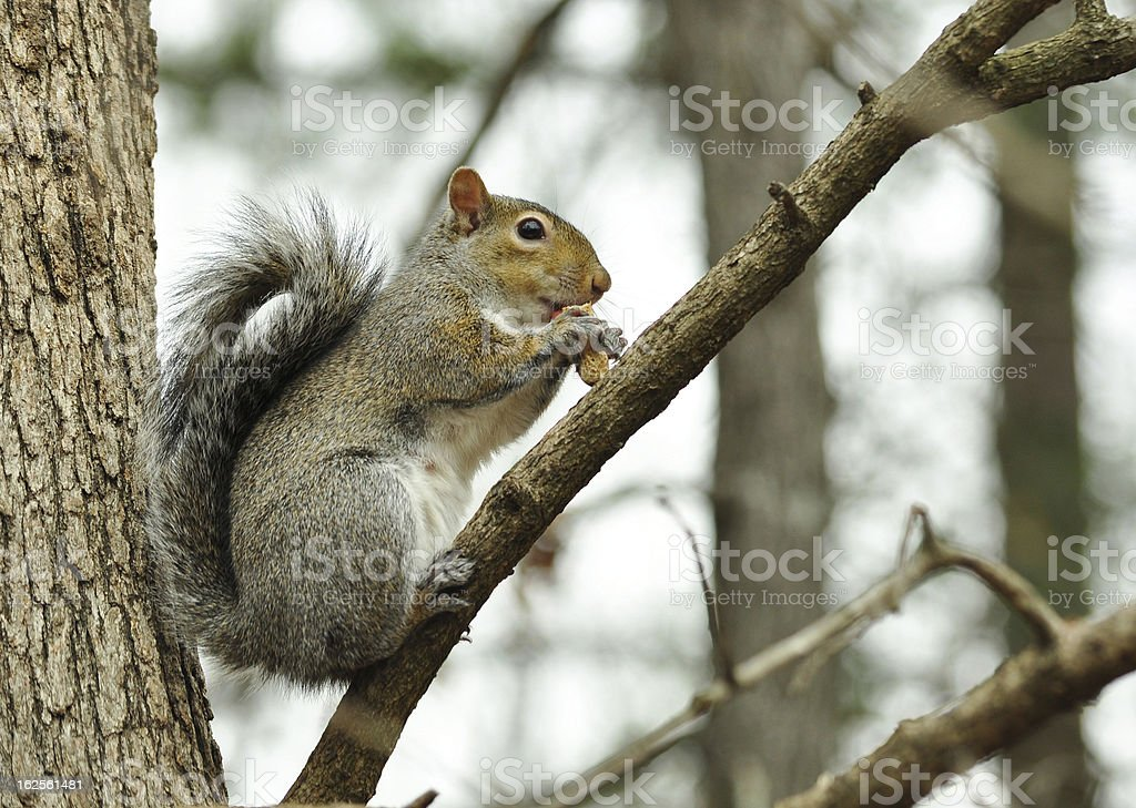 Gray Squirrel in Tree royalty-free stock photo