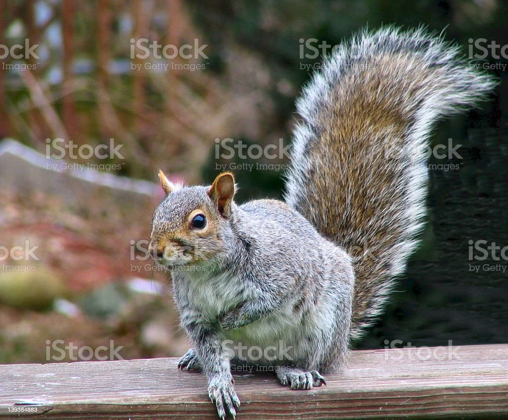 Gray Squirrel royalty-free stock photo
