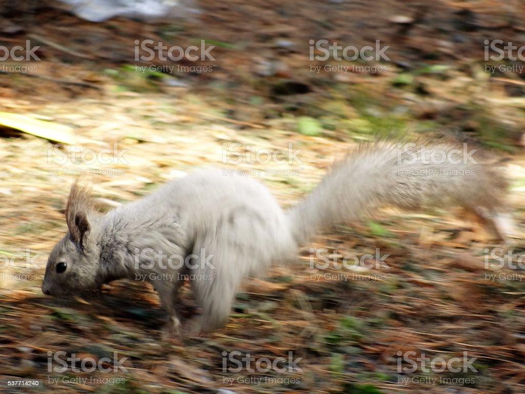 Écureuil gris, course à travers la forêt. photo libre de droits