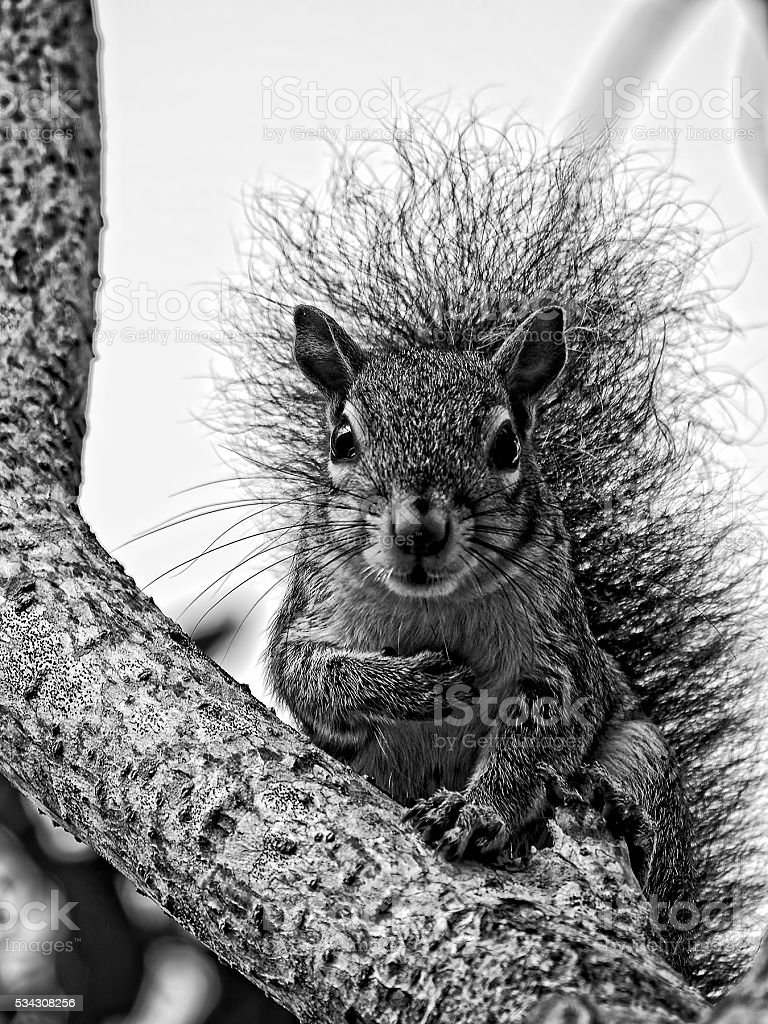 Gray Squirrel Taking a Bow Black and White stock photo