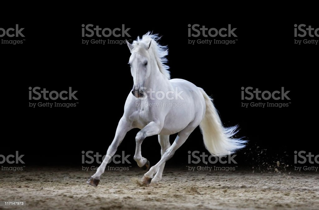 Gray stallion galloping stock photo
