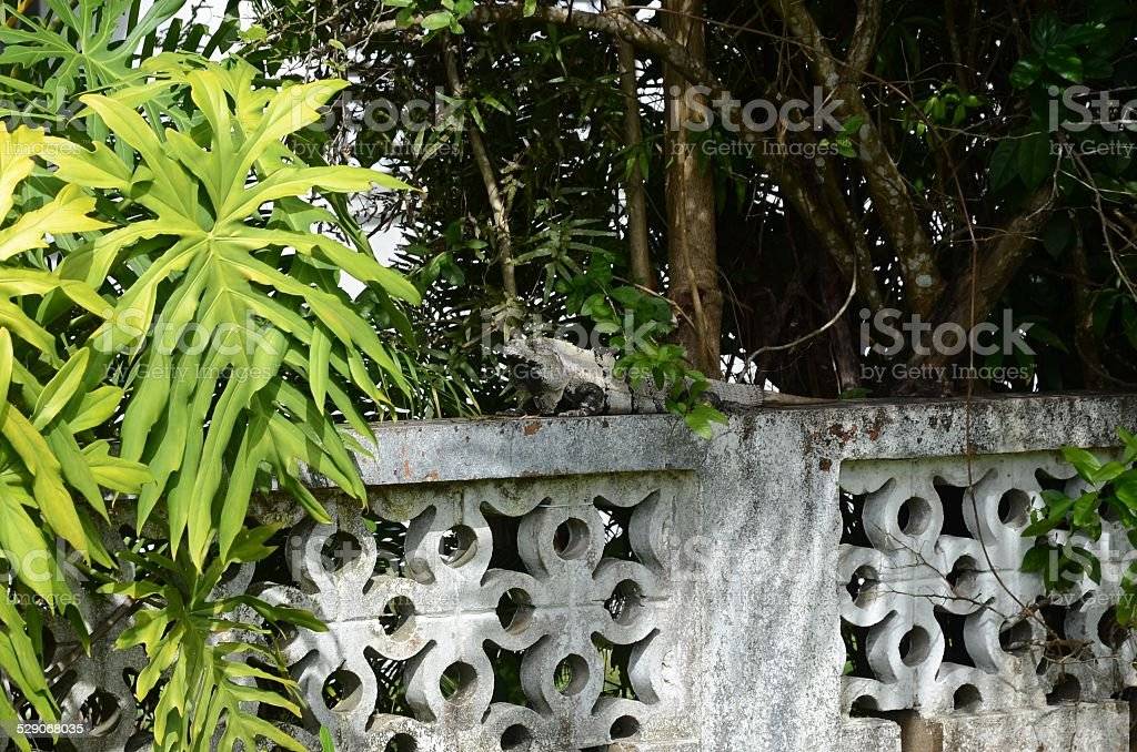 Gray Striped Iguana on a White Cement Wall royalty-free stock photo