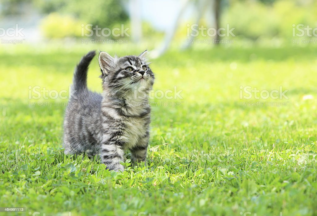 A gray striped kitten in green grass stock photo