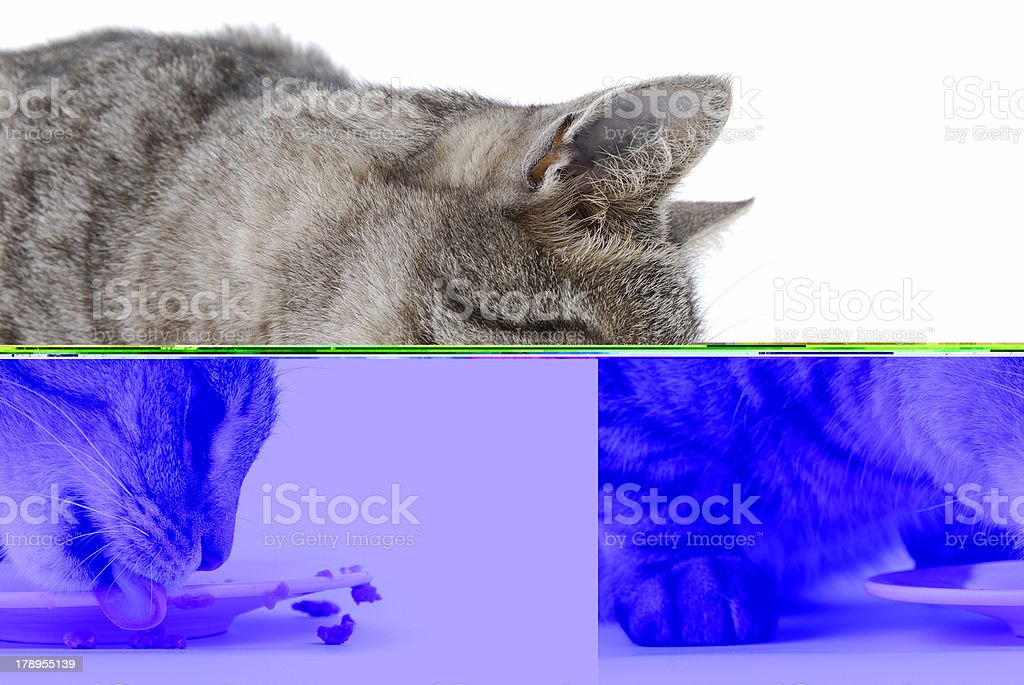 A gray tabby cat eating from a plate on a white background royalty-free stock photo