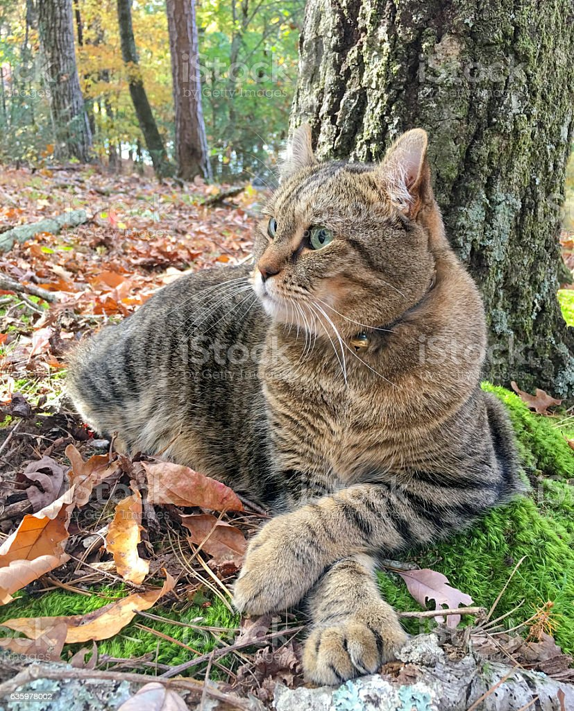 Gray Tabby Cat in the Woods stock photo