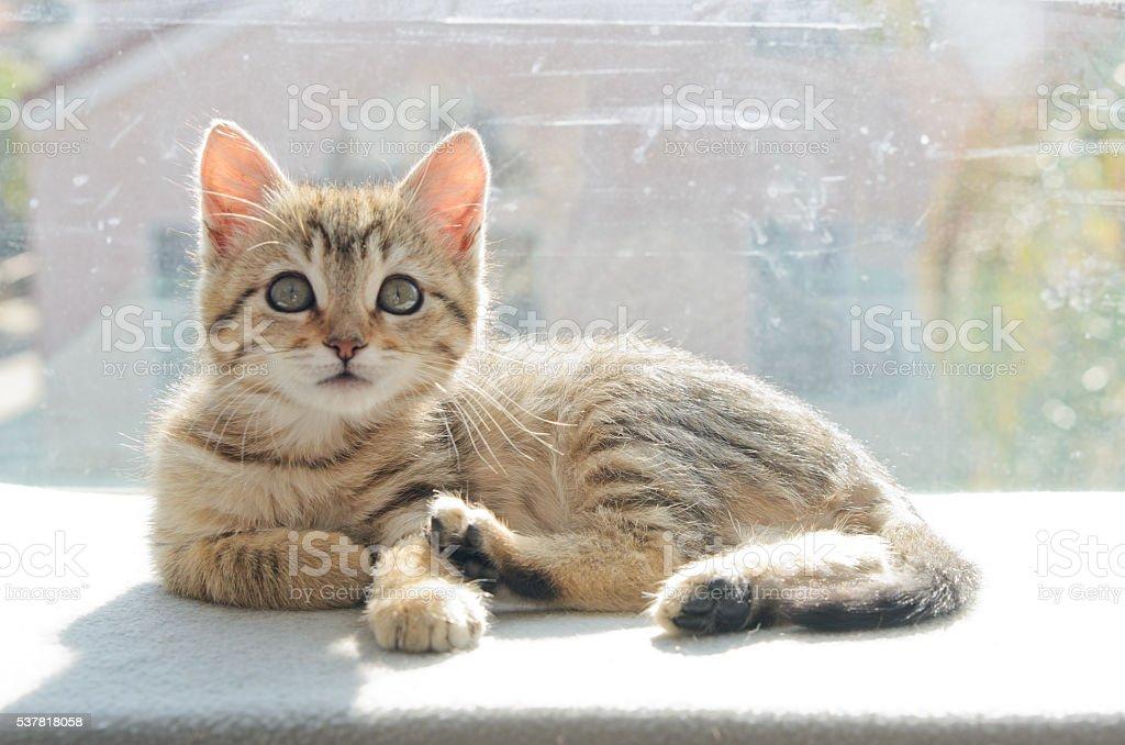 Gray Tabby Kitten Laying on Perch stock photo