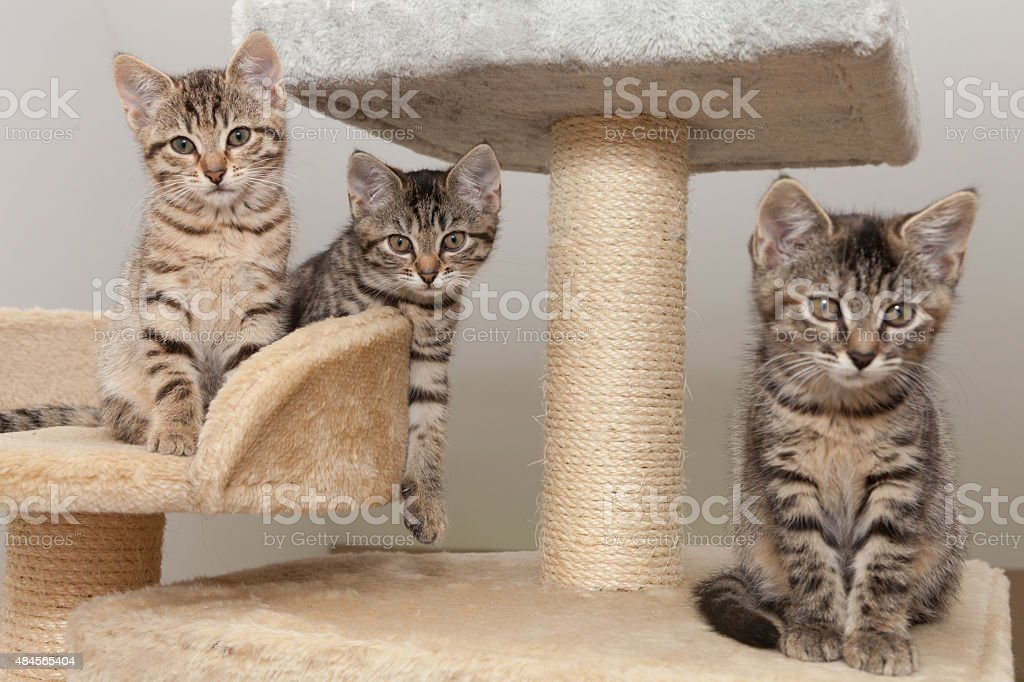 gray tabby kitten on scratching post stock photo